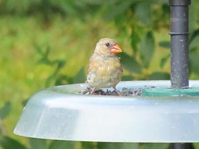 cardinal on feeder tray