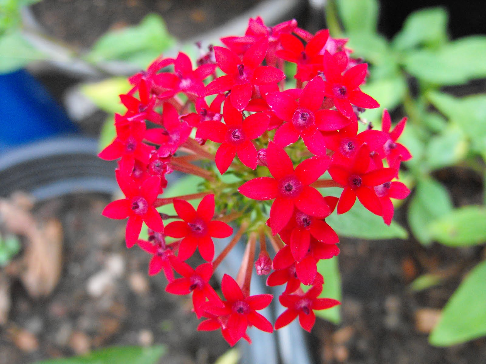 Kinds Of Flowers Red Santan Flower Ixora Flower Bonsai