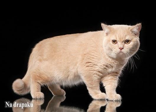 Koty kremowe