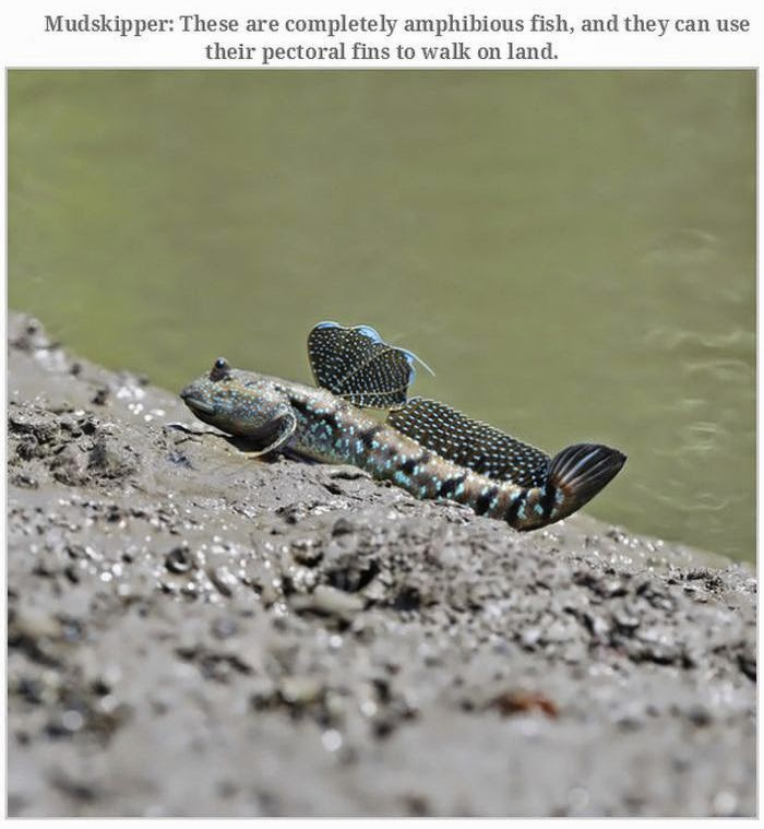 Weird animals (20 pics), strange animal pictures, mudskipper fish