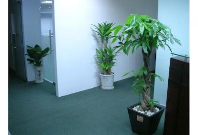 cây cảnh văn phòng