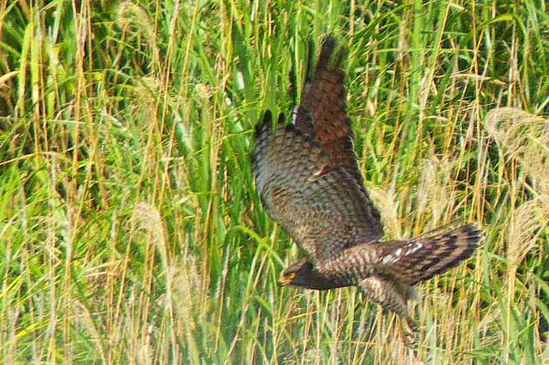 raptor, bird, diving for prey