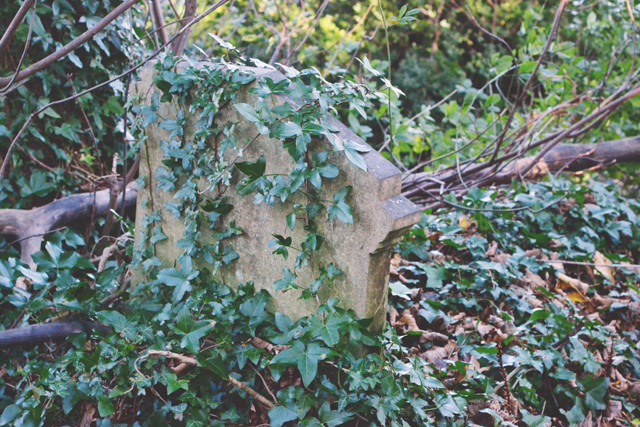 Ivy covered headstone