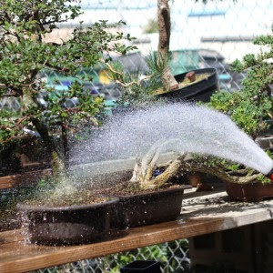How Often Should I Water My Bonsai