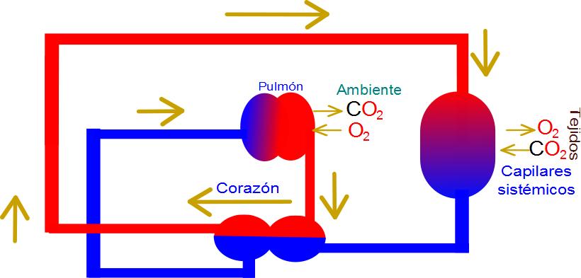 Circuito Circulatorio : Ciencias de joseleg sistema circulatorio menor