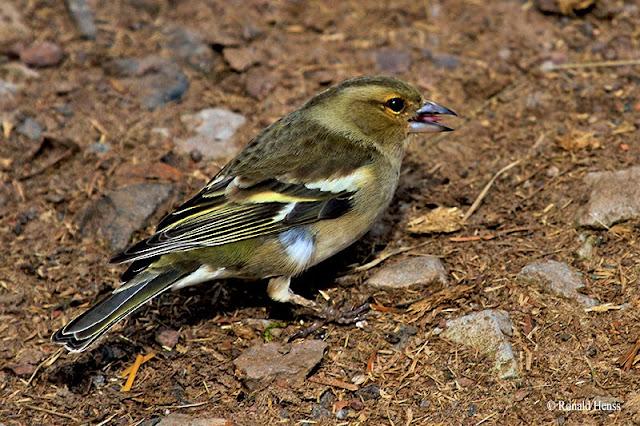 Vogel Singvögel Buchfink
