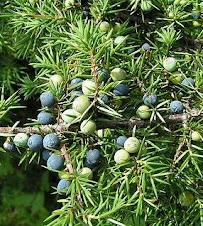 JUNIPER-TREE-WITH-CONES-BERRIES 2