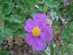 Cistus Incanus.