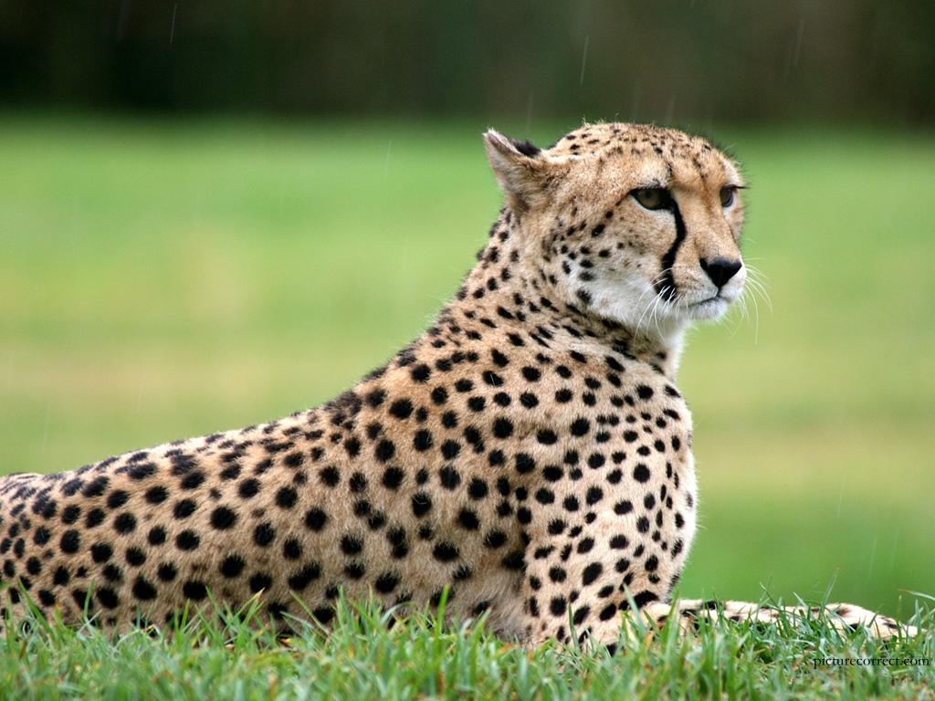 http://3.bp.blogspot.com/-ZYvQ9g5tLc8/TgdJdqTxidI/AAAAAAAAAEc/RISYsit3gVU/s1600/Wild+Animals+Wallpapers+6.jpg
