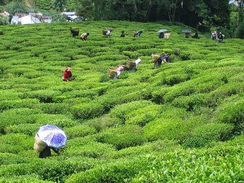 DTDPLU Thanks Gurung for supportng tea garden workers' issues