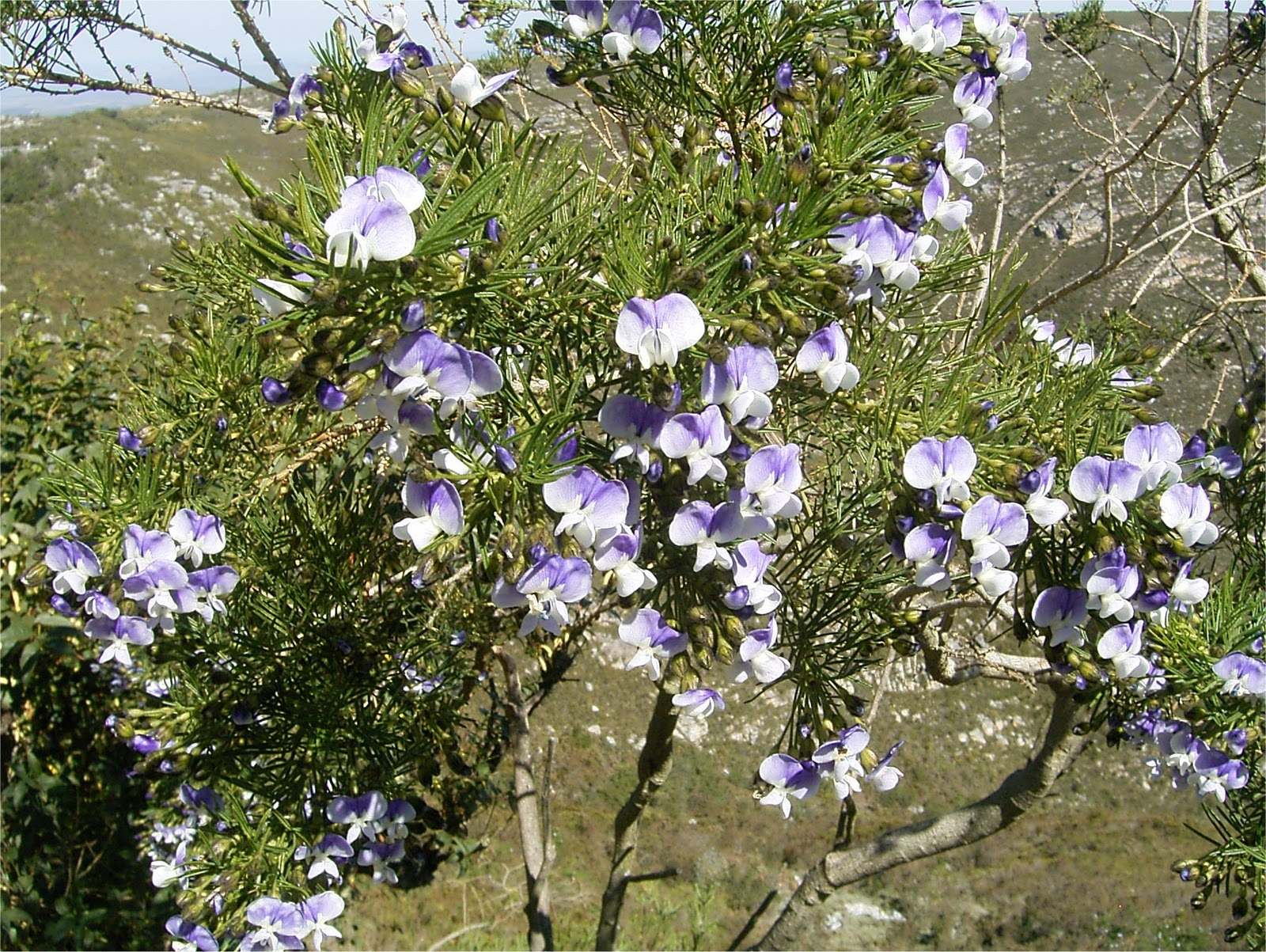 Psoralea affinis flowers