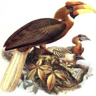 calao filipino grande Buceros hydrocorax