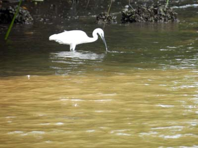Bird Watching In Chorao, Goa