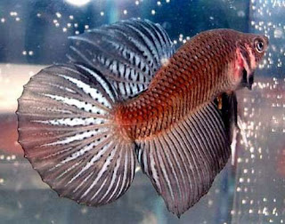 12 Type Of Betta Fish By Tail Types - Round Tail