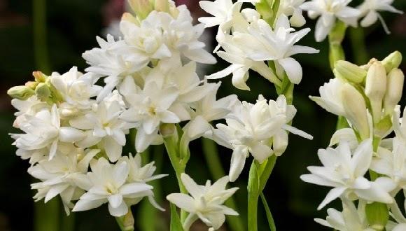 Bunga Sedap Malam dan Khasiatnya