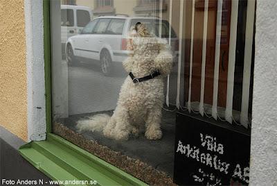vad tar ni för valpen där i fönstret, hund skyltfönster, valp, yl, voff, skäll, foto anders n, tsyfpl
