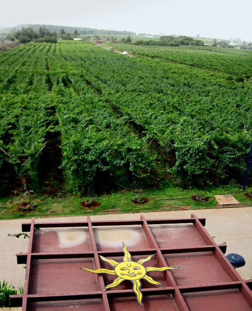 vineyard in Nashik in India