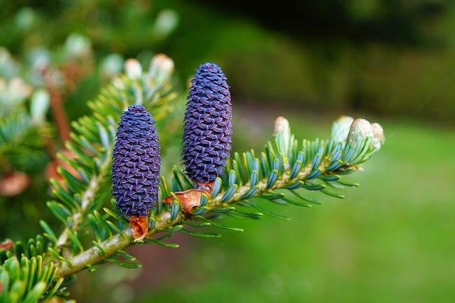 Kapa65 - cônes de pins