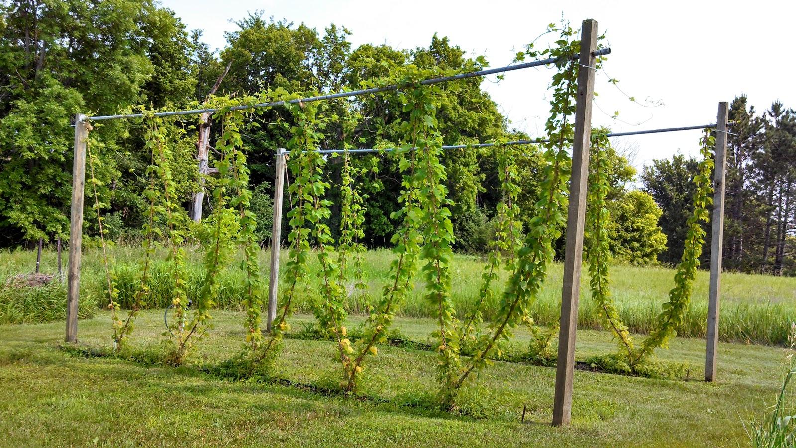 Fluke brewing minnesota homebrewing hop growing diy for Hops garden designs