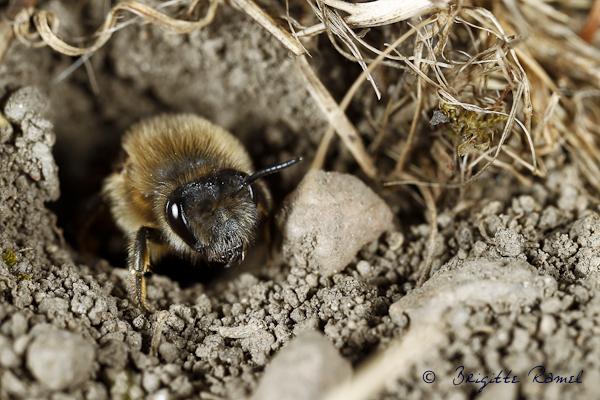 abeille collete cunicularius