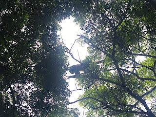 A juvenile moving from one tree to another about 10 meters above my head in Playa Gigante. Photo: AR Kirwin