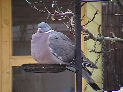 Woodpigeon having a good feed in my garden