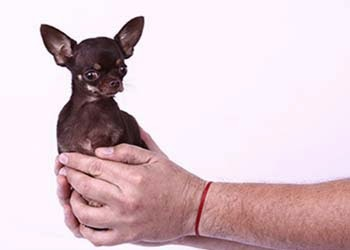 smallest dog, guinness world record