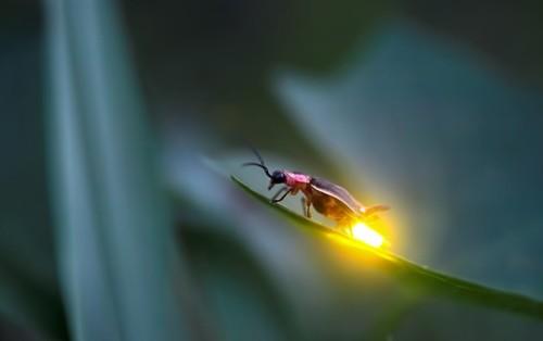 Philosophy Monkey: Meet the Lampyridae (or firefly) Again
