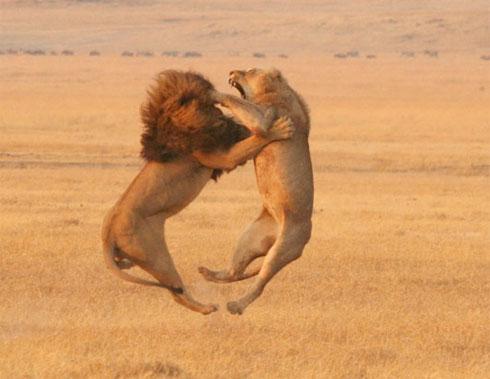 leões-brigando