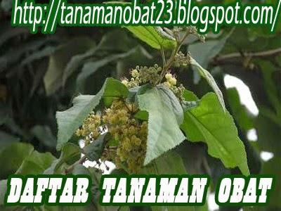 Tanaman Obat Jati Belanda  (Guazuma ulmifolia Lamk, var. Tomentosa Schum.)