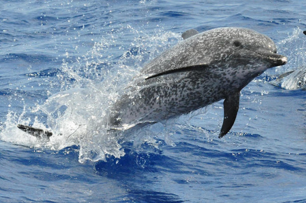 Spotted Dolphin