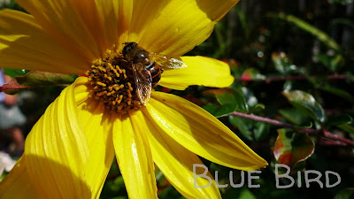 Garten im September - Stauden-Sonnenblume
