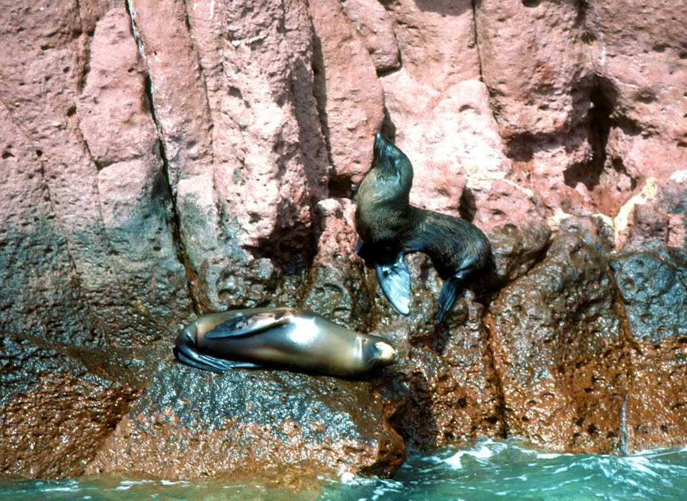 Guadalupe Fur Seal (Arctocephalus townsendi) center, with California Sea Lion, below