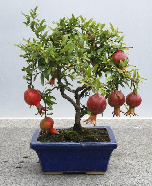pohon bonsai buah yang menarik dan unik-16