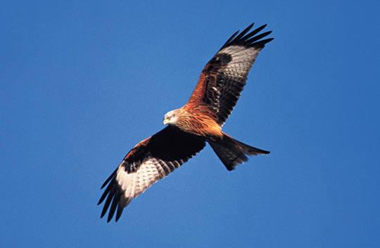 Avila The Bird-Hybrid Red%2Bkite