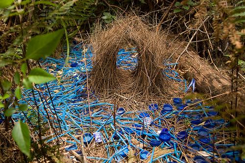 Les constructions de l'oiseau jardinier