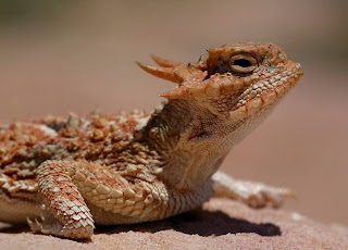 9 Horned Lizard 10 of the Weirdest Animal Instincts and Behaviors