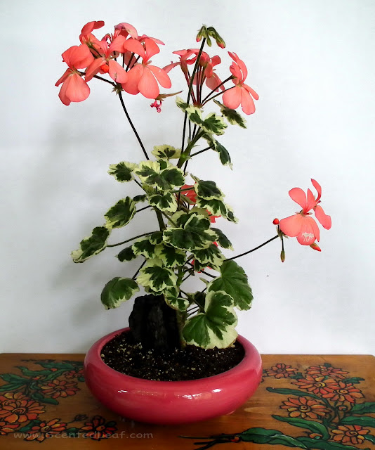 Pelargonium zonale, x Hortorum, Frank Headley in bloom potted in coral-pink ceramic pot