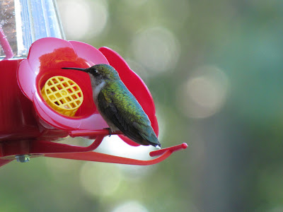 hummingbird on feeder taking a break