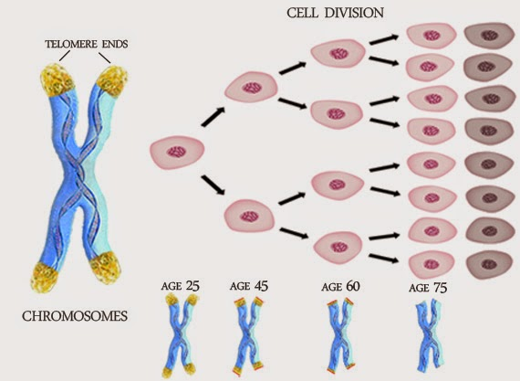 telomeres their roles and connection to aging