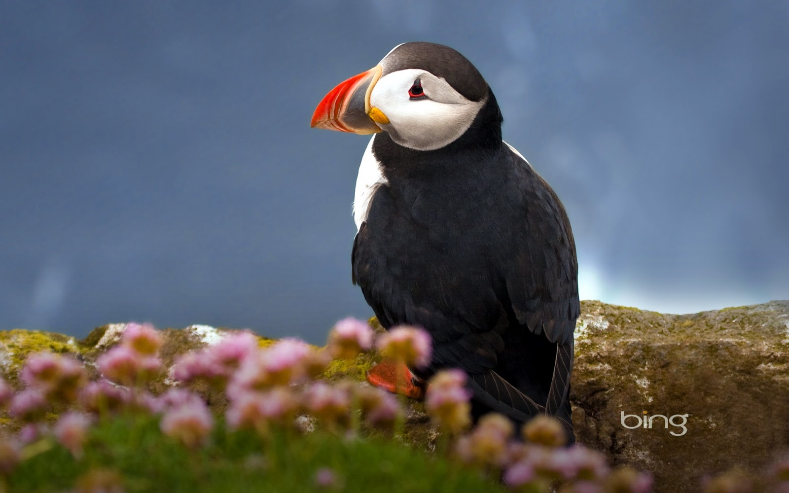 seabird atlantic puffin wallpapers - Seabird Atlantic Puffin Wallpapers HD Wallpapers