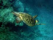 Green Sea Turtles HD Wallpaper (green turtle hd wallpaper)