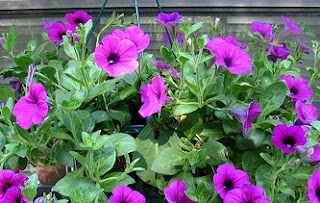 Petunia summer hanging basket