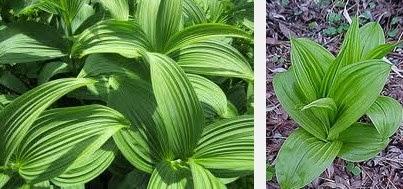 false hellebore dangerous herbs