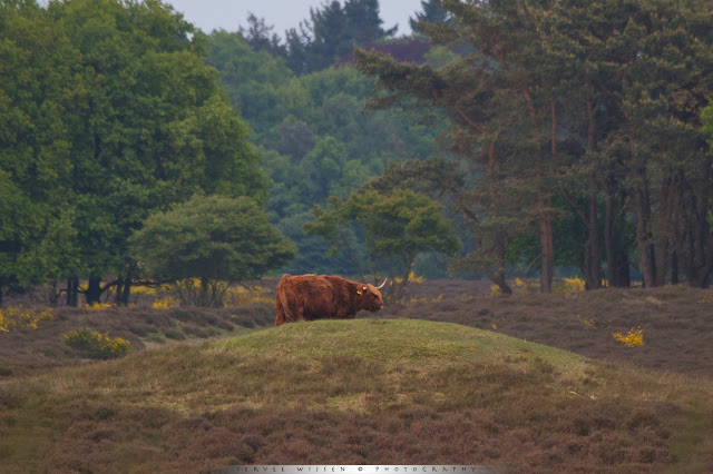 Schotse Hooglander op grafheuvel uit de Bronstijd - Scottish Highlander on a burial mound from the Bronze age