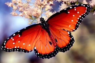 La Chachipedia Las mariposas