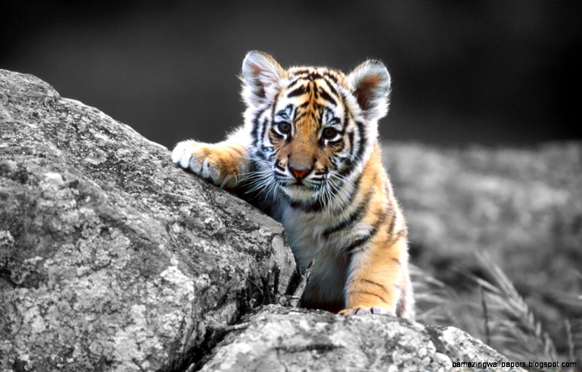 Cute Baby Tigers Tumblr  Amazing Wallpapers