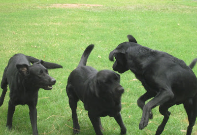 Picture of 3 black dogs playing... IF Rudy is one of them, he's the dog on the far right... on 2 feet! (the picture is a little blurry... so I can't tell if he's got the markings - but anytime Rudy plays... he's always jumping, and notice the fur on his back? it's got to be Rudy!)