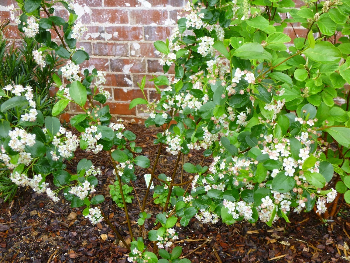Aronia melanocarpa, still full of flowers and pushing new growth