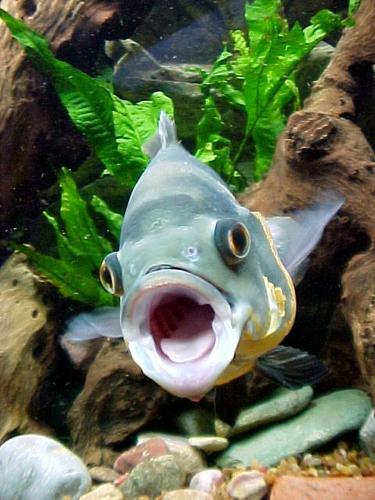 Viviendo en un acuario papilla para pez oscar for Peces alimentacion